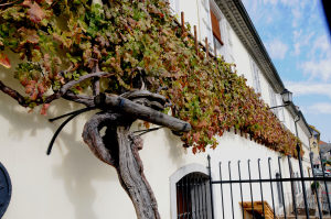 The Oldest Vine